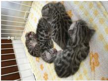 生後10日目の子猫
