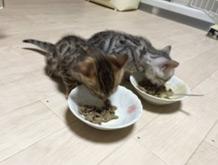 子猫用ミルクと混ぜた離乳食