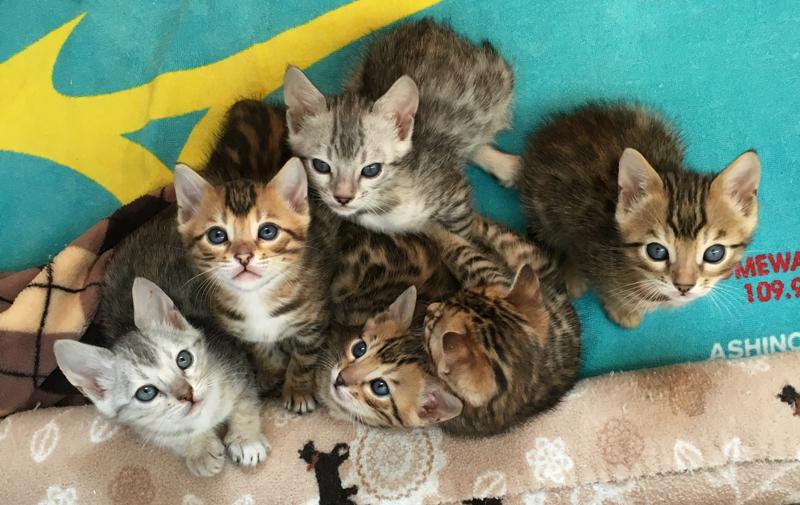 Cattery夢猫庵のベンガル子猫