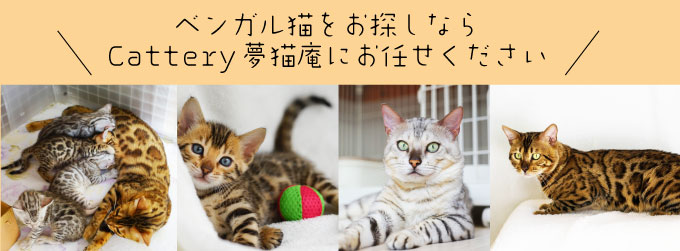 ベンガル猫をお探しならCattery夢猫庵にお任せください。